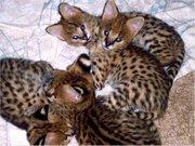 Серваль и Саванна котята Доступные