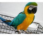 bдома,  поднятые и зарегистрирован синих и золотых попугаи ара для прод
