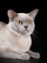 Предлагаем к резервированию котят европейской бурмы