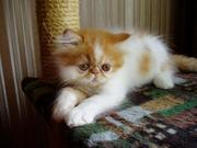 Продается персидский котенок